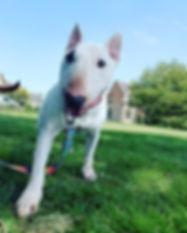 Jazzy #potterspaws_#dogwalker #hulldogwa