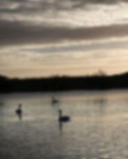 Swan lake..jpg