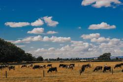 Cows _ Human _ Matamata, New Zealand
