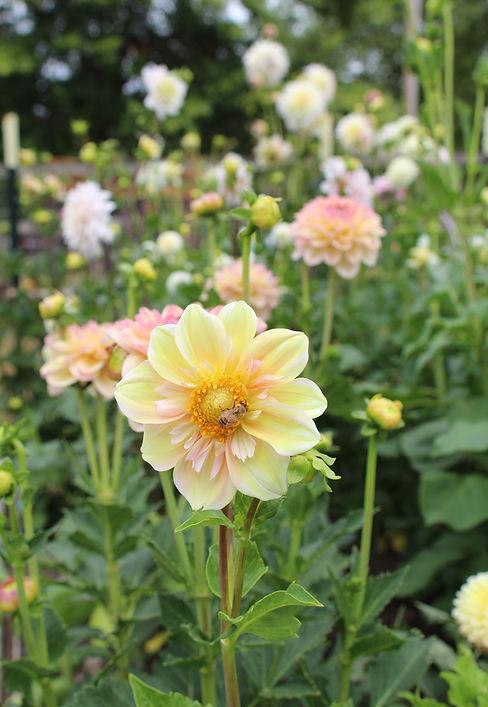 Dahlia Appleblossom in the garden