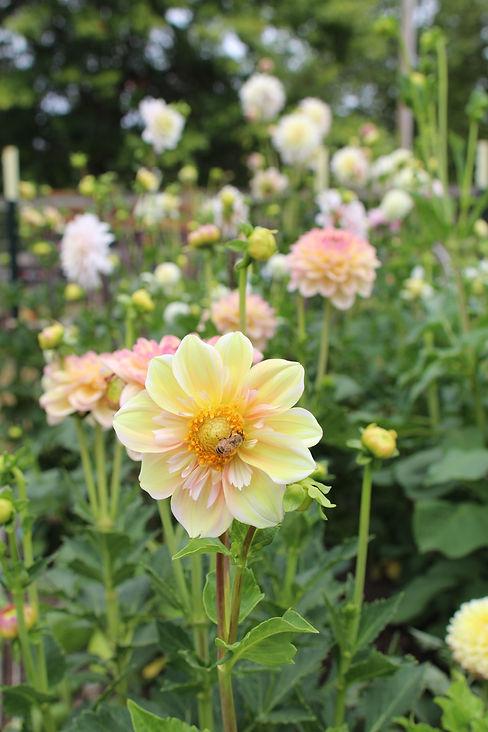 Dahlia Garden Appleblossom Bee.JPG