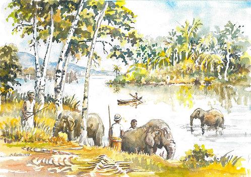 Elephants' evening bath time, near Kandy, 1979