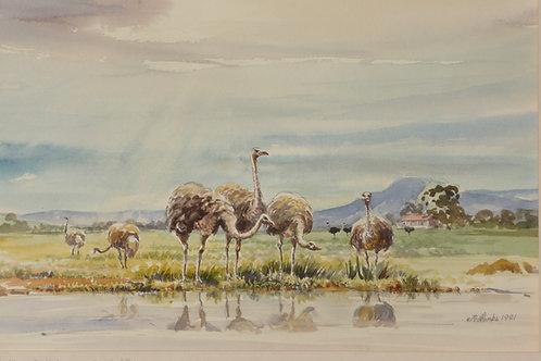 Ostrich Farm at Oudtshoorn, 1981