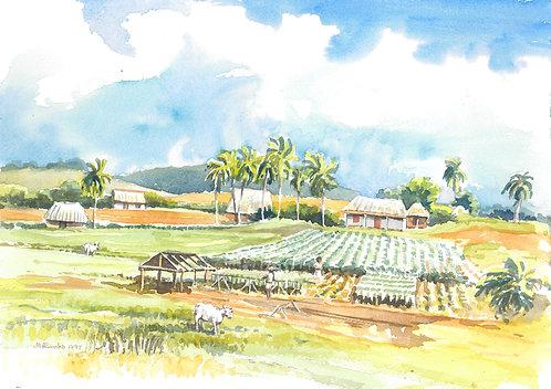 Tobacco fields between Viñales and La Palma, 1997