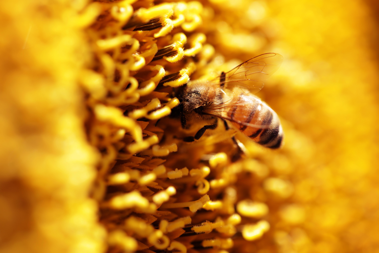 Macro bee photography