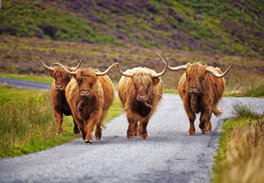 Foto Schottlandrinder.jpg