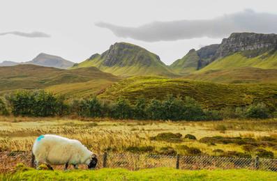 Foto Schaf Schottland.jpg