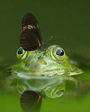 csm_Frosch_im_Wasser_flach_gemeinfrei_5f