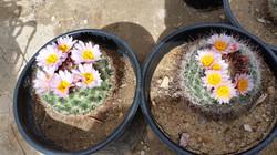 Mountain Barrel Cactus