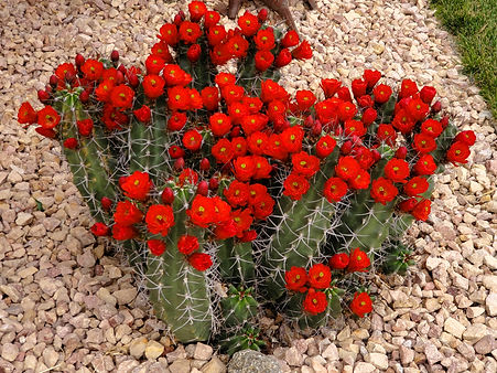 White Sands Claret Cup