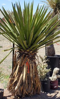 Yucca Faxonia