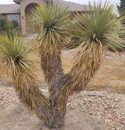 Yucca Thompsonia