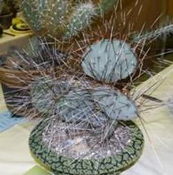 Long-black-spine Prickly