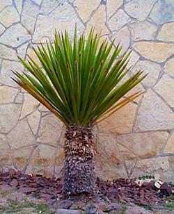 Faxonia Yucca