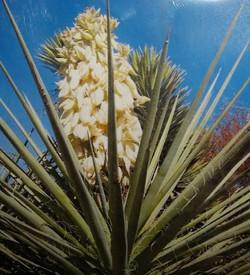 Yucca Bacatta