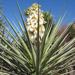 Bacata Yucca