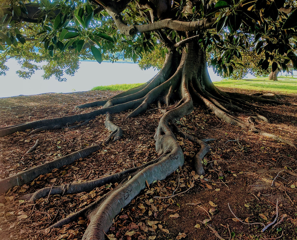 Close up of large above ground tree roots, by Daniel Watsen
