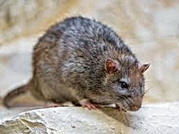 ratssmiths.jpg