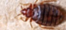 Bed bug111111.jpg