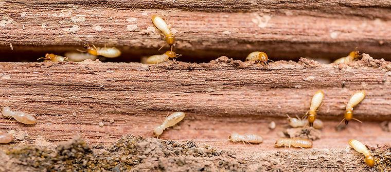 termites smiths.jpg