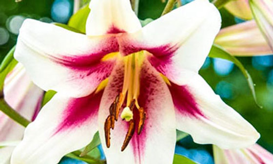 LILY potted bulb - Altari