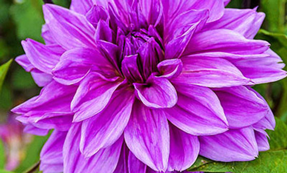 DAHLIA potted tuber - Lilac Time