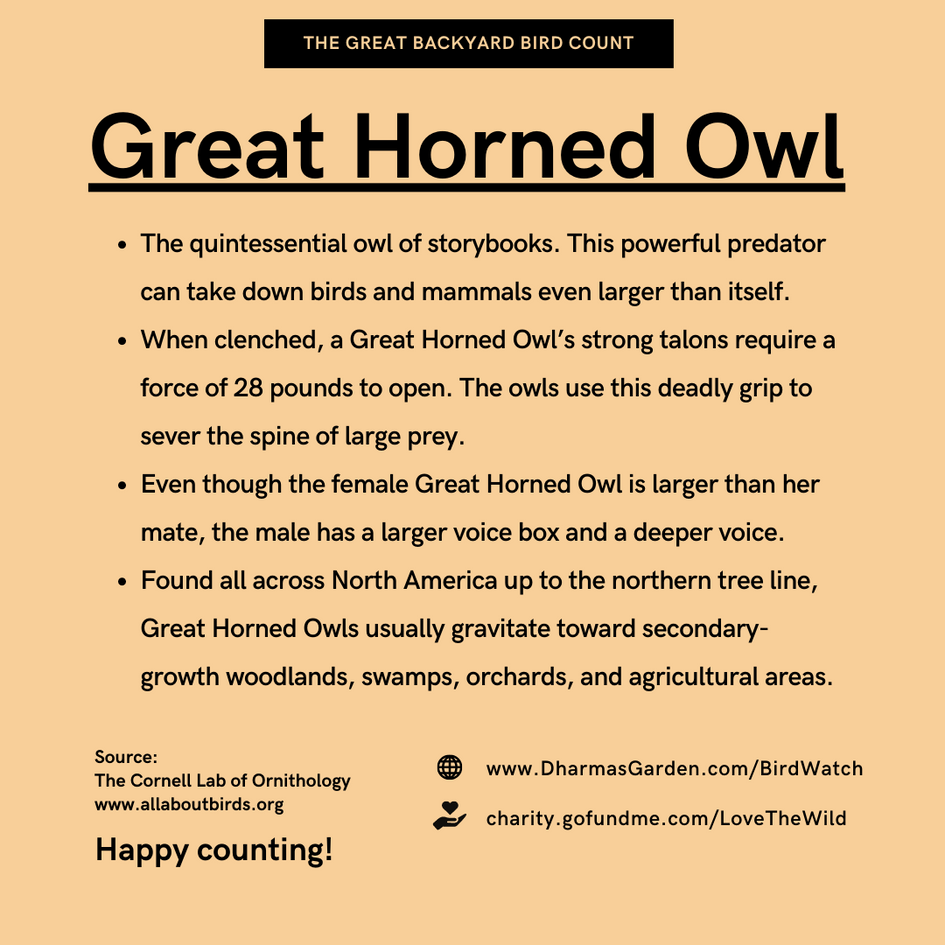 Great Horned Owl Info