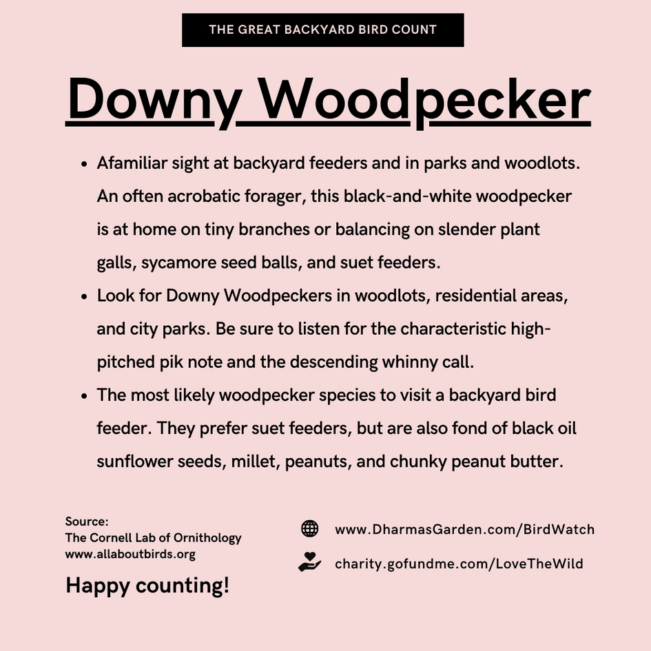 Downy Woodpecker Info