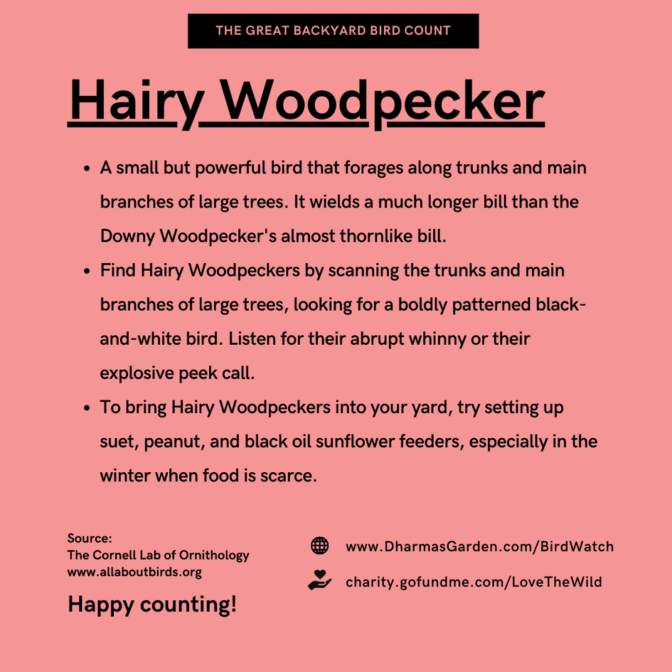 Hairy Woodpecker Info