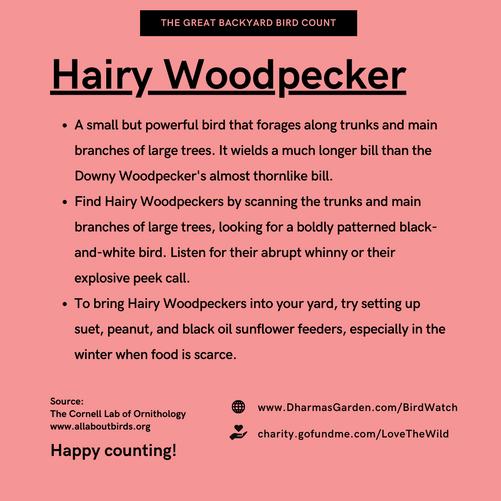 Hairy Woodpecker Info
