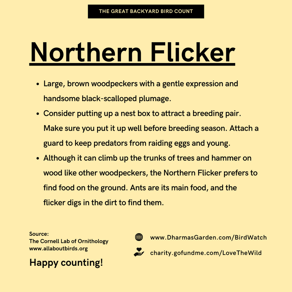Northern Flicker Info