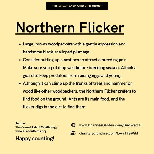 Northern Flicker Info