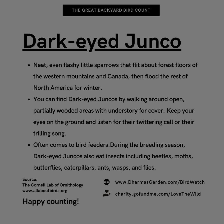 Dark-eyed Junco Info
