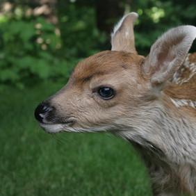 Dharma Deer