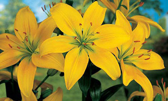 LILY potted bulb - Yellow County