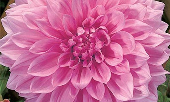 DAHLIA potted tuber - Otto's Thrill