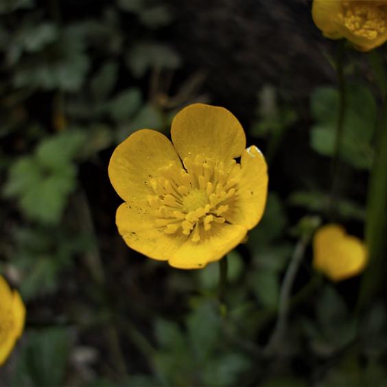 Buttercups Reunion & Save Dharma's Garden!