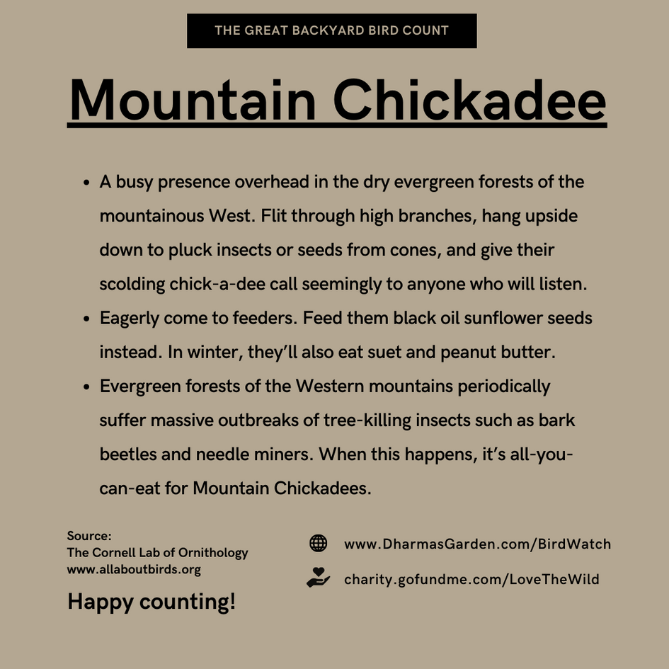 Mountain Chickadee Info