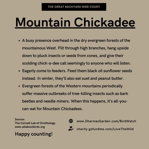 Mountain Chickadee Info