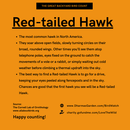 Red Tailed Hawk Info