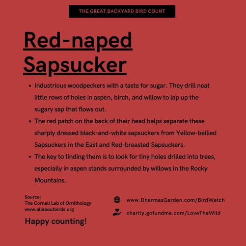Red-naped Sapsucker Info