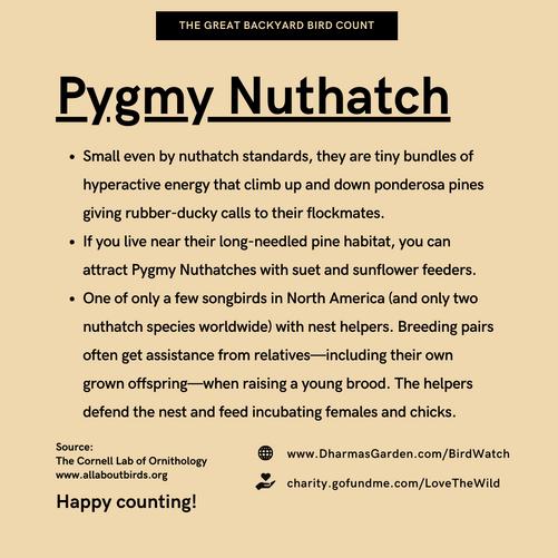 Pygmy Nuthatch Info