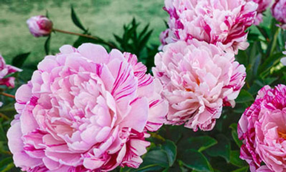 PEONY potted tuber - Candy stripe