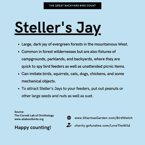 Steller's Jay Info