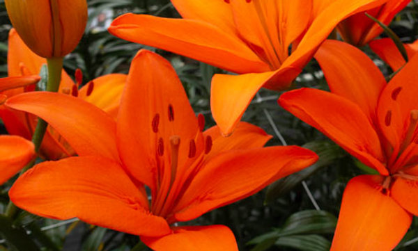LILY potted bulb - Orange Ton