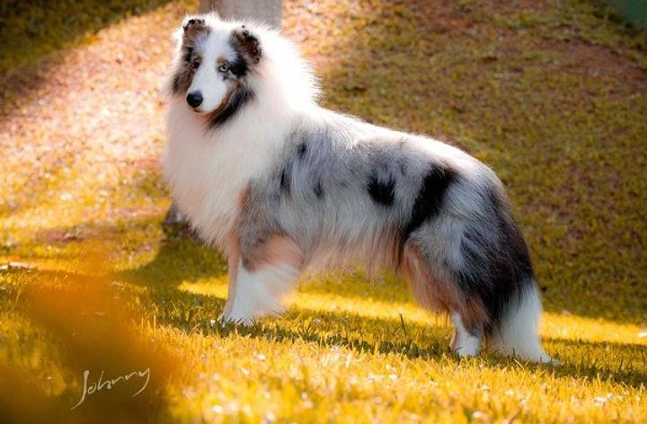 pastor de shetland olho azul