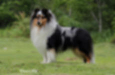 Drummond Hill's Magic Aslam - Sheltie #1 Brasil 12