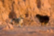 Pastor de Shetland sheltie handler filhote ninhada