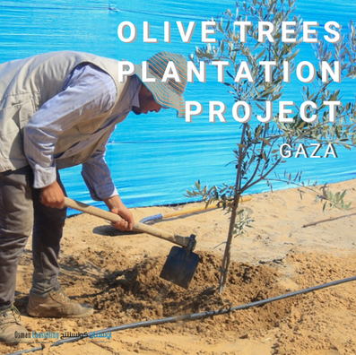 Gaza Olive Trees Plantation Project