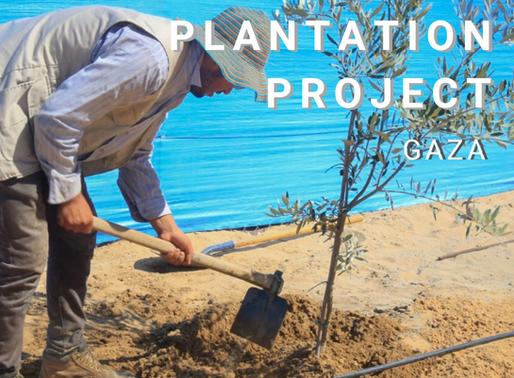 Gaza Olive Trees Plantation Project